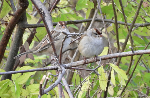 White-crowned Sparrow - Owl Woods - © Candace Giles - Nov 03, 2020
