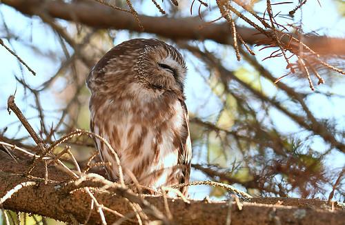 Northern Saw-whet Owl - Owl Woods - © Dick Horsey - Nov 04, 2020