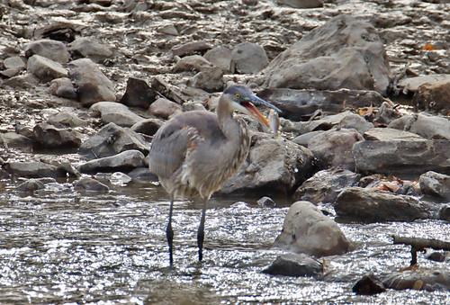 Great Blue Heron - Lock 32 Park - © Jeff Eichner - Nov 05, 2020