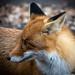 Wild fox beggar - almost eat from hand