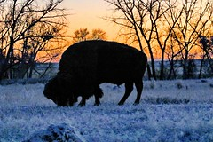 November 10, 2020 - Bison in the pre-dawn hour. (Bill Hutchinson)