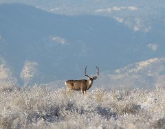 November 10, 2020 - Mule deer buck in the fresh snow. (Bill Hutchinson)