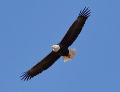 November 11, 2020 - Bald eagle soaring. (Bill Hutchinson)