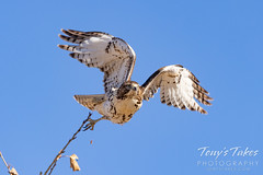 November 11, 2020 - Red tailed hawk launch. (Tony's Takes)