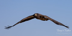 November 11, 2020 - Juvenile bald eagle in flight. (Tony's Takes)