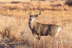 November 11, 2020 - Mule deer buck strikes a pose. (Tony's Takes)