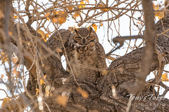 November 11, 2020 - Sleepy great horned owl. (Tony's Takes)