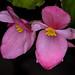 Last flowers - Begonia