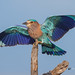 An Indian Roller landing on a Prize Perch