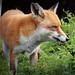 Close-up Fox