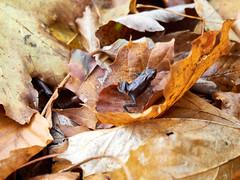 2020-11-15 15.35.11 - November frog, Et eller andet, 320-366, Uge 46,  Moesgaard skov, Aarhus - _B153924 - ©Anders Gisle Larsson