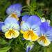 Violas in Open Shade