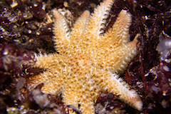 Photo of Common Sunstar (Crossaster papposus)