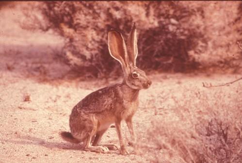 AntelopeJackrabbit