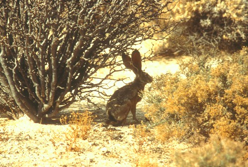 AntelopeJackrabbit (2)