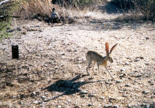 AntelopeJackrabbit (4)