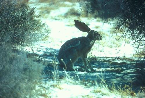 AntelopeJackrabbit (3)