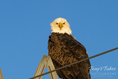 November 14, 2020 - Bald eagle with attitude. (Tony's Takes)