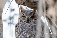 November 15, 2020 - Great horned owl staying hidden. (Tony's Takes)