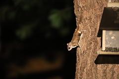 Southern Flying Squirrels (Ypsilanti, Michigan) - 323/2020 160/P365Year13 4543/P365all-time (November 18, 2020)