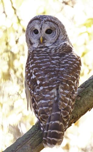Barred Owl - Owl Woods - © Jeanne Verhulst - Nov 07, 2020