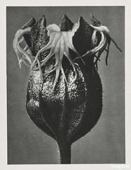 Tellima randiflora (Fringe Cups) enlarged 25 times from Urformen der Kunst (1928) by Karl Blossfeldt. Original from The Rijksmuseum. Digitally enhanced by rawpixel.