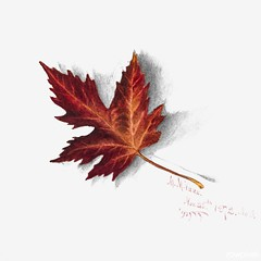 Autumn Leaf (1874) by Mary Vaux Walcott. Original from The Smithsonian. Digitally enhanced by rawpixel.