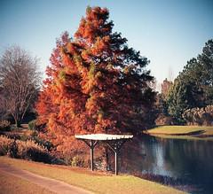 Fall Cypress #1  -   Ektar