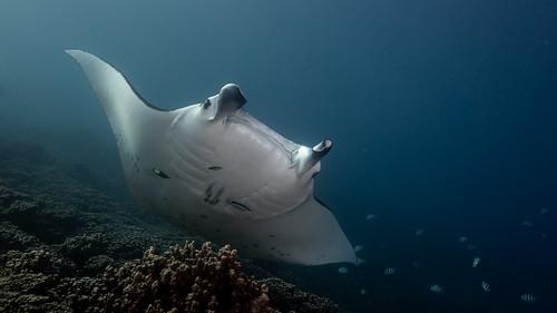 Manta Ray - Bora Bora