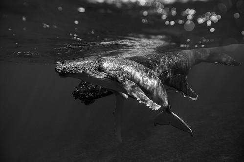 Bora Bora Humpback Whales