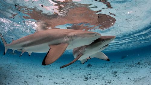 Black Tip Sharks Bora Bora