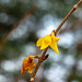 Fall Forsythia