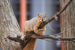 Fox Squirrels in Ann Arbor at the University of Michigan 325/2020 162/P365Year13 4545/P365all-time (November 20, 2020)