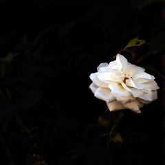La rosa blanca del jardí fosc