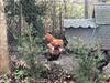Chickens, Stones Lane, Cricklade