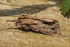 Photo of sprawler, Asteroscopus sphinx