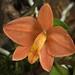 Cattleya sp. (Soph. riograndensis type)