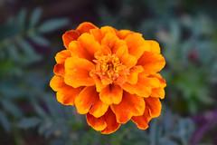 November Marigold Blossom.