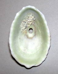 Fissurella barbadensis (Barbados keyhole limpet shell) (St. Thomas, Virgin Islands) 2