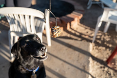A burned marshmallow is held up, tempting a black labrador retriever dog who looks at it. Concept for teasing a dog