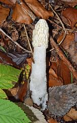 Photo of Stinkhorn (Phallus impudicus)
