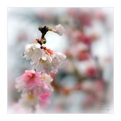 Photo of 'Novembre fleurit sous la pluie!'