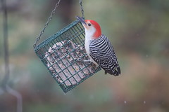 Red-bellied Woodpecker at my Bird Feeders (Ypsilanti, Michigan) - 327/2020 164/P365Year13 4547/P365all-time (November 22, 2020)