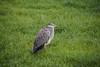 Unhappy heron