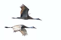 Sandhill Cranes in flight 04996
