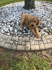 Honey is 3 months & 12 pounds
