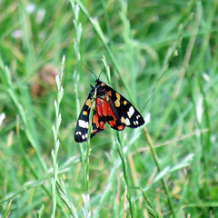 Photo of 34 | moth – probably scarlet tiger