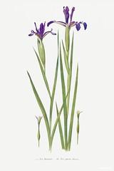 Iris Sintenisii and Iris Spuria from The Genus Iris (1913) by William Rickatson Dykes. Original from The Biodiversity Heritage Library. Digitally enhanced by rawpixel