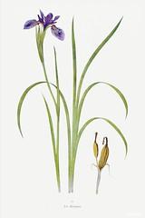 Iris Bulleyana The Genus Iris (1913) by William Rickatson Dykes. Original from The Biodiversity Heritage Library. Digitally enhanced by rawpixel