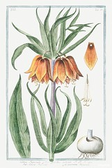 Corona Imperialis, flore pulchre rubente (ca. 1772 –1793) by Giorgio Bonelli. Original from the The New York Public Library. Digitally enhanced by rawpixel.